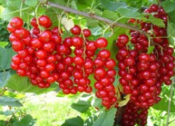 Смородина: штамбовая формировка и выращивание на шпалере