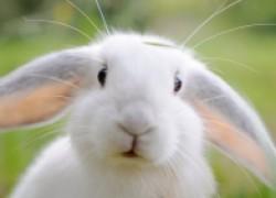 Весна – опасная для кролика пора