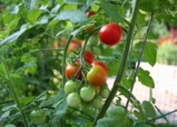 Несколько мифов о выращивании помидоров