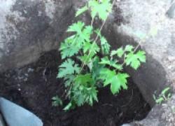 Какой должна быть почва для высадки винограда