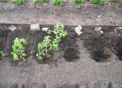 Высаживаем в грунт первый рассадный десант
