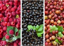 Можно ли увеличить урожай малины и смородины в три раза