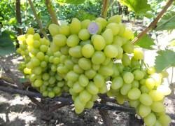 Главные сорта светлого винограда