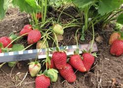 Четыре нужных совета для раннего урожая крупной земляники