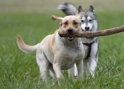 Чем чреваты игры собаки с палкой