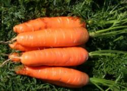 Не знаете, какую морковь сажать? Сажайте нантскую