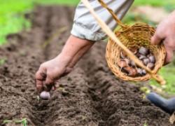 Как выращивают яровой чеснок