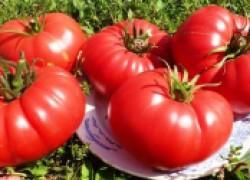История крупноплодных помидоров
