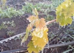 4 простых способа защиты виноградника от заморозков
