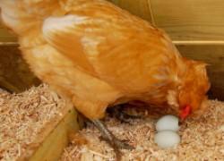 Специальное гнездо для курицы − вандалки