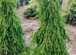 Плакучие ели – изюминка любого сада