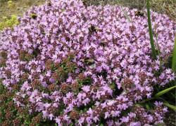 Растения-коврики – альтернатива изумрудному газону