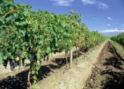 Междурядья винограда: копать или нет?