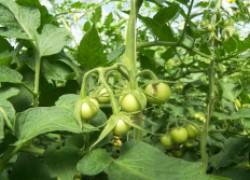 Почему помидоры жируют и не дают урожай