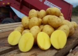 Что такое элитный картофель и в чем его преимущства