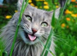 Давать ли кошке валерьянку?