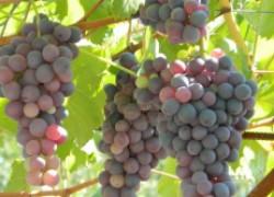 Как сохранить урожай винограда