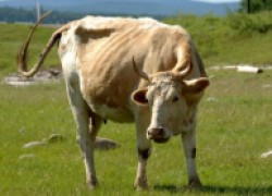 Можно ли делать прививки и брать кровь у стельной коровы?