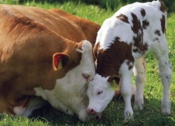 Отел у коров