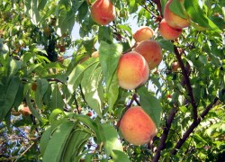 Как защитить персик от болезней
