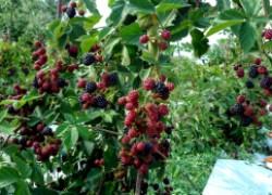 Как выращивать ежевику