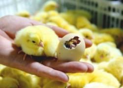 Как выбрать здорового цыпленка