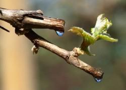 Что делать, если виноград не хочет плакать
