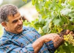 Секреты хорошего урожая винограда