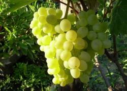 Технические сорта винограда – это что?