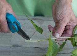 Размножаем черную смородину зелеными черенками