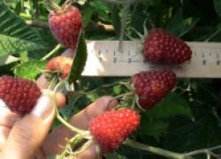 Новый сорт малины Карамелька – мечта многих садоводов
