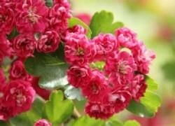 Боярышник, который цветет, как сакура