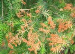 Почему засыхают хвойные растения