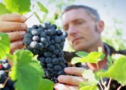 Двадцать одно «не» виноградаря