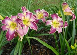 Лилейники – цветы для интеллигентных лентяев