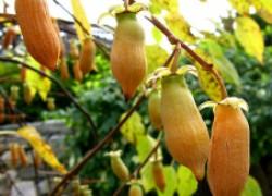 Актинидия полигамная: удивительная ягода со вкусом… перца