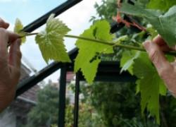 Когда и зачем надо прищипывать виноград