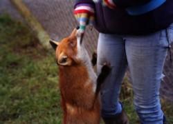 Что делать, если укусила лиса