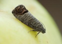 Плодожорка – самый опасный враг урожая
