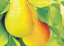 Груша июньская лепотика может плодоносить два раза в год