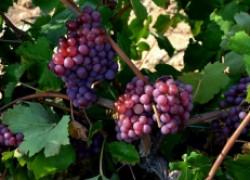 Можно ли оставлять урожай на кустах, впервые вступивших в плодоношение?
