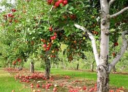 Сад начинается с яблони