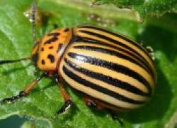 Колорадский жук опасен и коварен