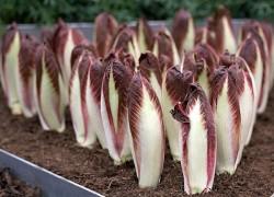 Что такое салат-витлуф