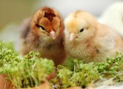 Почему цыплята разного размера?