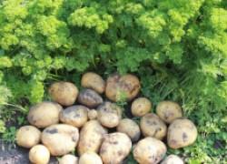 Картофель гала, ред скарлет и невский: сильные и слабые стороны