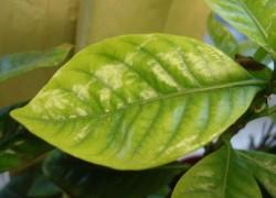 Как спасти растения от хлороза