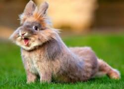 Почему в австралии не едят диких кроликов