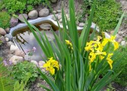 Ирис болотный – палочка-выручалочка для ленивого цветовода