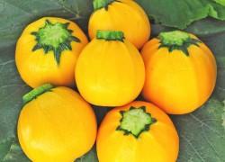 Кабачок апельсинка – удачная новинка